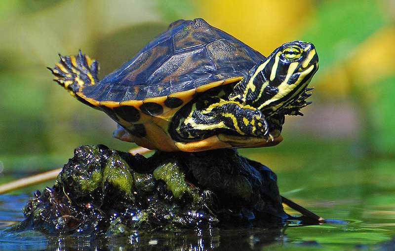 Great Red Eared Slider