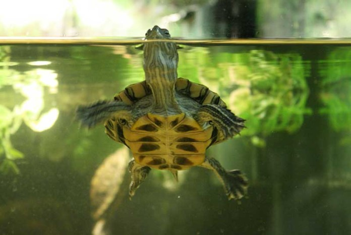 Red Eared Slider Turtle Tank Heat Source & Temperature Control