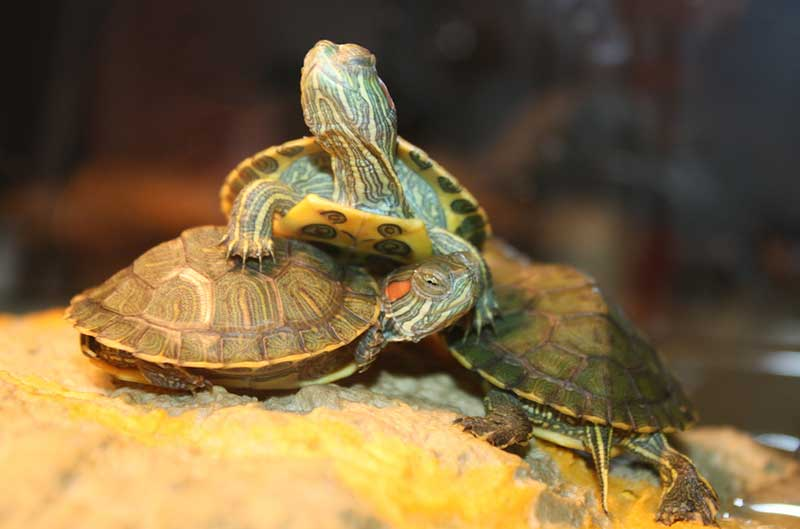 Turtle Tank Decor Entertaining Your Red Eared Sliders