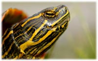 red eared slider common illness