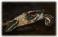 red-eared-slider-facts