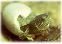 breeding red eared slider - hatchling