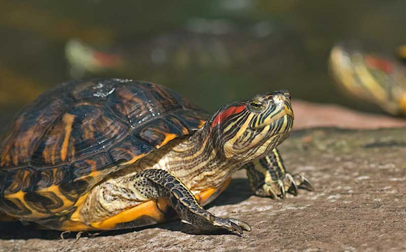 Proper Cleaning for Red Eared Slider Tank