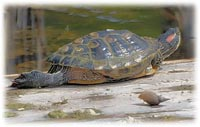 red eared slider rescue