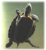 red-eared-slider-water-quality