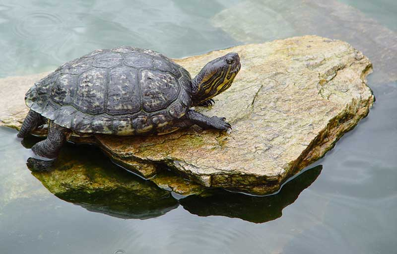Red Ear Slider Turtle For Sale - Best Picture Turtle 2017