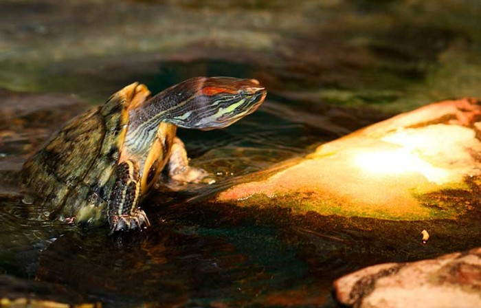 Red Eared Sliders in Ponds: Temperature Options