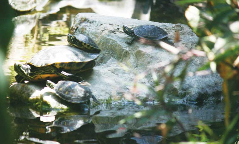 Water Quality for Your Red Eared Slider Turtle