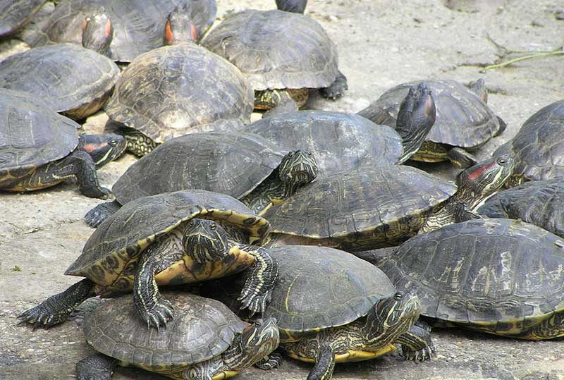 How to sex red eared slider
