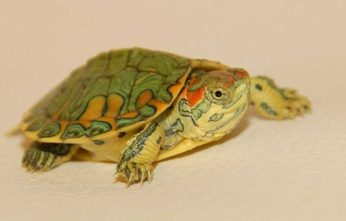 Red-Eared Slider Babies: Diet and Nutrition