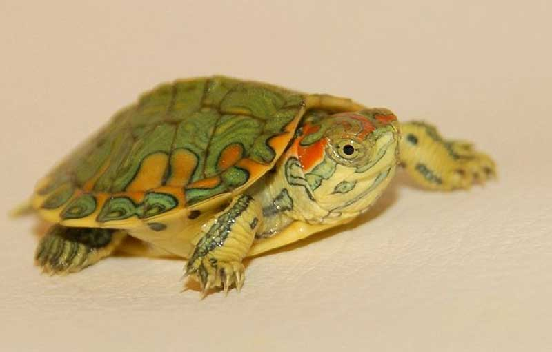 Red Eared Slider Babies Diet And Nutrition