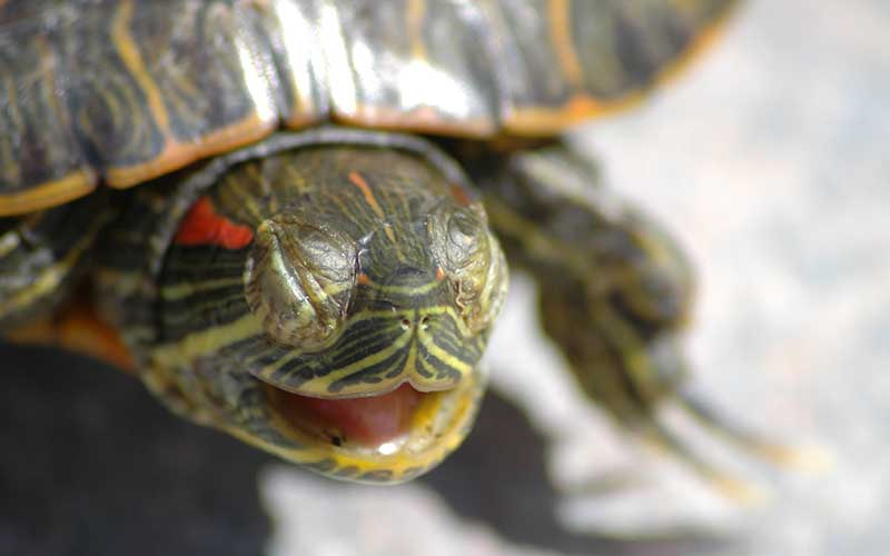 Red Eared Slider Facts