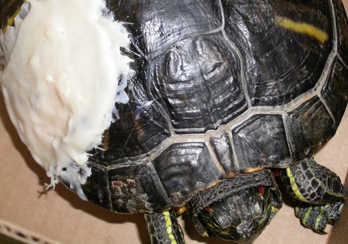 Turtle Tank Water Temperature : Care for Temperature Sick Red Eared Slider Turtle