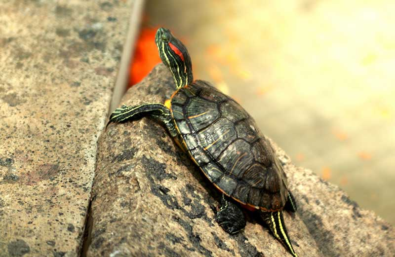 Choosing The Right Red Eared Slider Baby Or Adult,Bleeding Heart Flower Tattoo Meaning