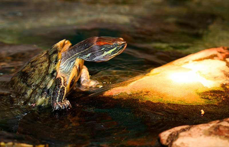 Red Eared Sliders In Ponds Temperature Options